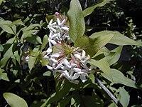 Abelia triflora