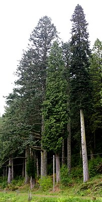 Broad, cylindrical growth of the noble fir (Abies procera) and narrow columnar growth of the Nordmann fir (Abies nordmanniana) in Benmore