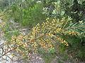 Acacia linifolia 3.jpg