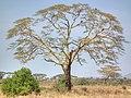Acacia xanthophloea Fever Tree in Tanzania 2864 Nevit.jpg