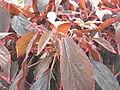 Acalypha wilkensiana marginata-1-yercaud-salem-India.JPG