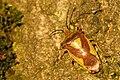 Acanthosoma.haemorrhoidale.-.lindsey.jpg