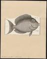 Acanthurus hepatus - 1700-1880 - Print - Iconographia Zoologica - Special Collections University of Amsterdam - UBA01 IZ13700051.tif
