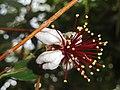 Acca sellowiana - Copenhagen Botanical Garden - DSC08015.JPG
