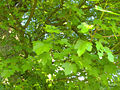 Acer campestre 009.jpg