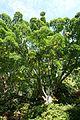 Acer capillipes - VanDusen Botanical Garden - Vancouver, BC - DSC06843.jpg
