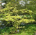 Acer japonicum 'Aconitifolium' 02 by Line1.jpg