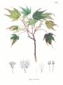 Acer micranthum SZ141.png
