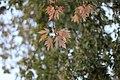 Acer palmatum - Japanski javor (1).jpg