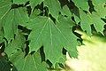 Acer platanoides (Norway maple) 2 (45416127675).jpg