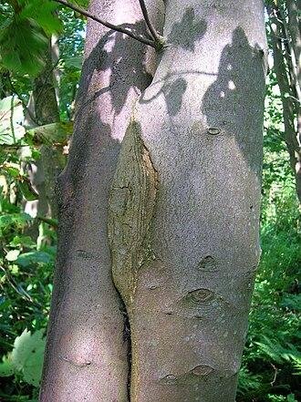 Inosculation - Image: Acer pseudoplatanus exhibiting inosculation