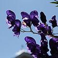 Aconitum sp.-IMG 5584.jpg