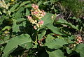 Aconogonon weyrichii var. alpinum in Mount Ontake 2010-08-27.jpg