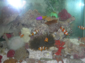 Acquarium Amphiprion ocellaris.png