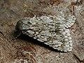 Acronicta aceris - The Sycamore - Стрельчатка кленовая (40344138864).jpg