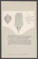 Actinocrinites triacondactylus - - Print - Iconographia Zoologica - Special Collections University of Amsterdam - UBAINV0274 007 02 0065.tif