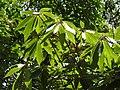 Actinodaphne bourdillonii Andiparai DSCN0473.JPG