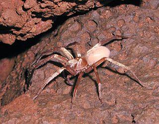 Kauaʻi cave wolf spider species of arachnid