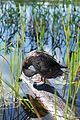 Adirondacks - duck - 07.jpg