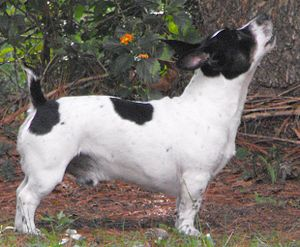 Teddy Roosevelt Terrier - Adult Male showing proper proportions while watching a squirrel