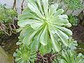 Aeonium arboreum - Berlin.jpg