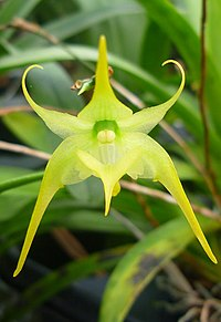 Aeranthes arachnites
