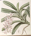 Aerides odoratum (as Aerides virens) - Edwards vol 30 (NS 7) pl 41 (1844).jpg