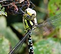 Aeshna cyanea Immature male. Blue Hawker (38896432455).jpg