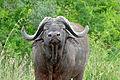 African Buffalo (Syncerus caffer) (16276029748).jpg