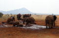 African Bush Elephants mud bath.png