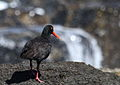 African Oystercatcher or African Black Oystercatcher, Haematopus moquini (13171444314).jpg