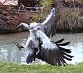 African Vulture 1.jpg