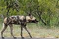 African Wild Dog (Lycaon pictus) female ... (50128679572).jpg