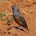 African quailfinch (36874831052).jpg