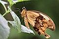 African swallowtail butterfly.jpg