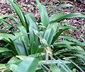 Agapanthus praecox orientalis 2zz.jpg