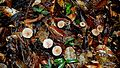 Agaricales sp., Atlantic forest, northern littoral of Bahia, Brazil (26261559151).jpg