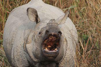 Aggressive Kaziranga rhino.jpg