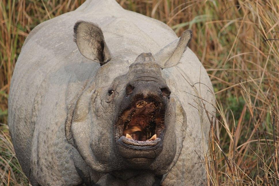 Aggressive Kaziranga rhino