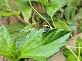 Agriocnemis Sp 4.jpg