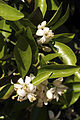 Agrumes Orangers CL J Weber11 (23307435359).jpg