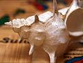 Alabaster Murex - Siratus alabaster (5925446300).jpg