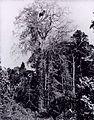 Albert Frisch - Sumaúma em meio à Floresta Virgem.jpg