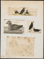 Alca cirrhata - 1700-1880 - Print - Iconographia Zoologica - Special Collections University of Amsterdam - UBA01 IZ17800147.tif