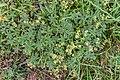 Alchemilla alpigena near Col de Coux (1).jpg