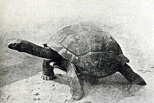 Aldabrachelys gigantea hololissa - A living specimen