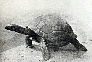 <i>Aldabrachelys gigantea hololissa</i> Subspecies of tortoise