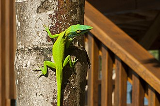 Allison's anole - Honduran males, like this individual from Roatan, have much less blue than males from elsewhere