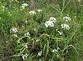 Allium neapolitanum kz8.jpg