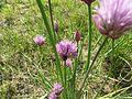 Allium schoenoprasum 04.JPG
